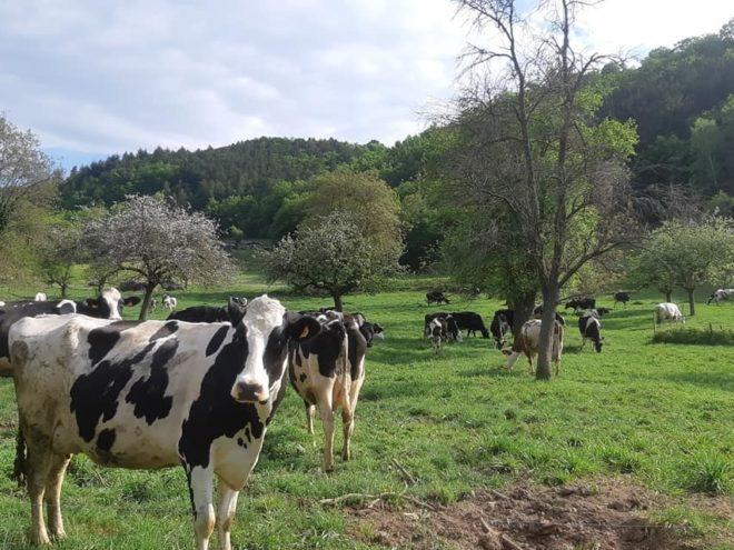 Une soixantaine de vaches laitières présente sur les hauteur d'Osenbach. Yourt de Sandrine
